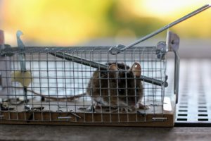 Eine Maus die in der Lebendfalle gefangen ist