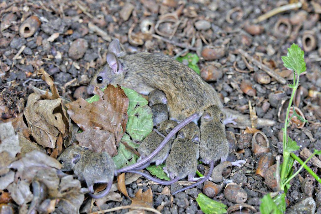 Mäusemutter mit Jungtieren