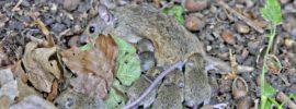 Junge Mäuse die gestillt werden